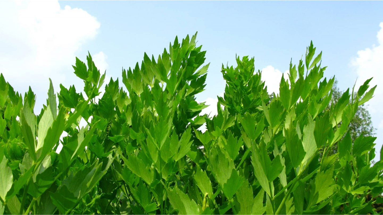 Liebstöckel Pflanze in der Natur