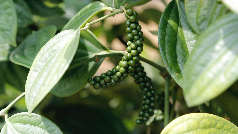 Grüner Pfeffer Pflanze