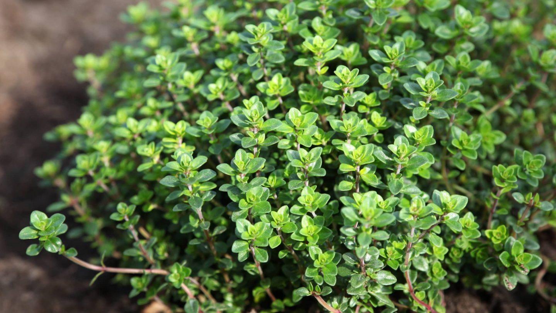 Thymian Pflanze in der Natur