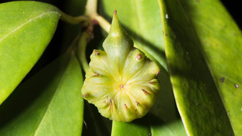Sternanis-Pflanze